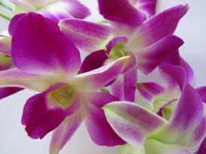 fleurs d'orchidée YVA Océan Indien