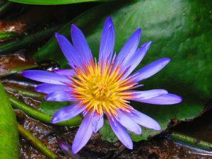 lotus-bleu-yva-ocean-indien